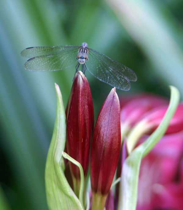Dragonfly on Lilies Buds