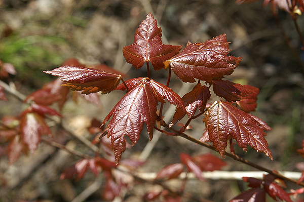 Red Maple Leaves in the Spring