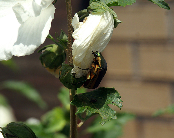 Scarab beetle Eating a Rose of Sharon Flower