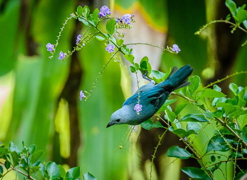 Blue-gray Tanager [Thraupis episcopus]