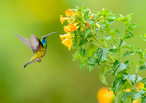 Green Violet-ear Hummingbird [Colibri thalassinus]