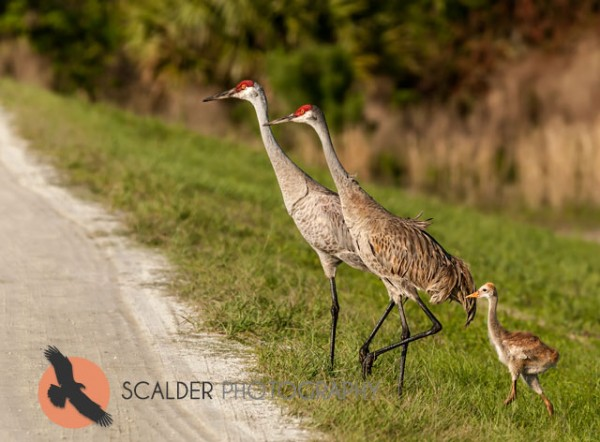 Pair of Sandhill Cranes with Chick