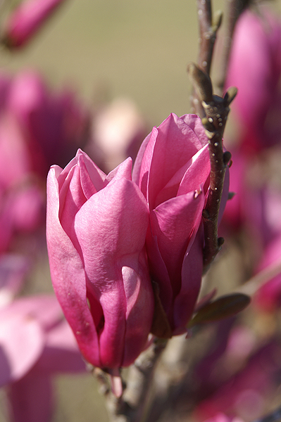 Japanese Magnolia Blossoms
