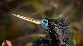 Male Anhinga in breeding colors