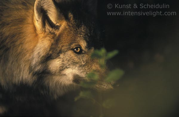 Portrait of a Wolf looking through leaves