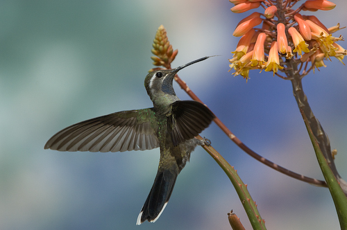 Blue-throated Hummingbird visiting Agave flowers
