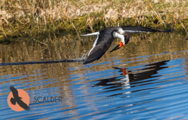 Black Skimmer with head tucked in flight