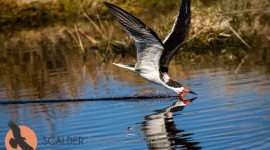 Black Skimmer, skimming in canal