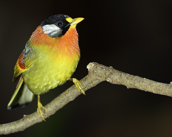 Portrait of a captive silver-eared mesia (Leiothrix argentauris)