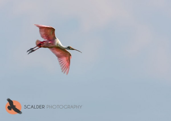 Roseate Spoonbill in flight, descending