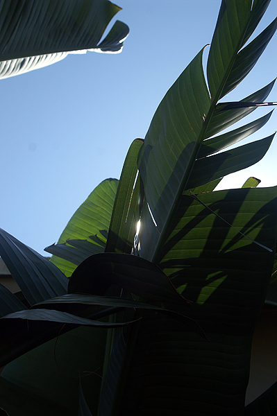 Bird of Paradise Leaves Against the Sun