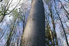 Towering beech tree
