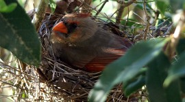 Female Cardinal on nest