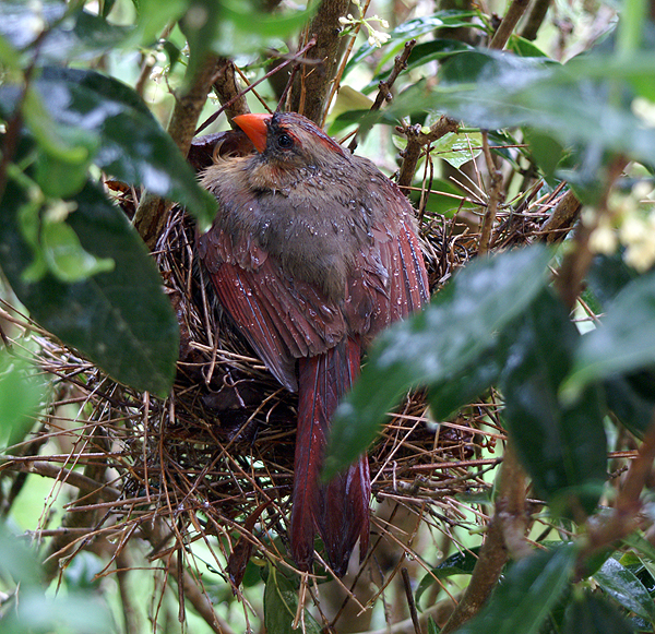 Female Cardinal sheltering Chicks from Rain
