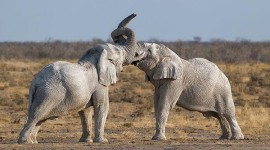 African-Elephant-bulls-fighting600px