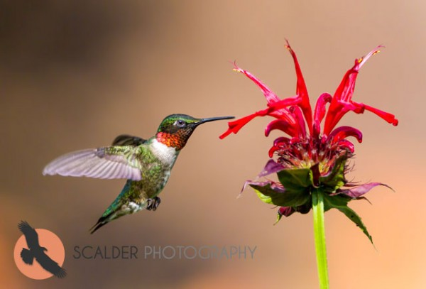 Male Ruby-throated Hummingbird in flight with tongue out