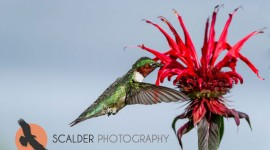 Male Ruby Throated Hummingbird in flight with wings forward at red flower