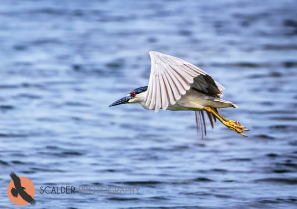 Adult Black Crowned Night Heron in flight