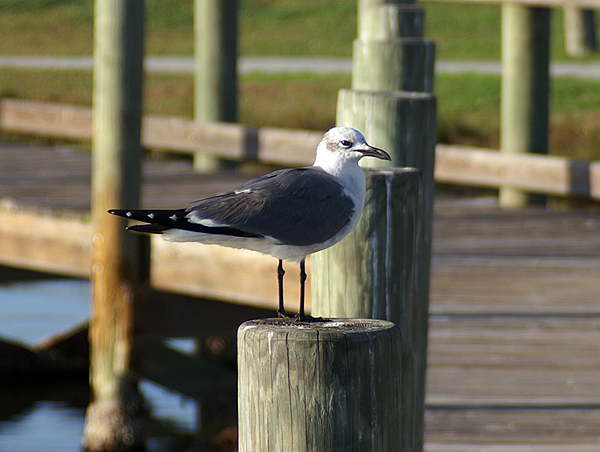 Laughing Gull, Larus atricilla, in winter plumage