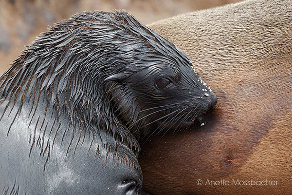 1-Fur-seal-cub-Cape-Cross-Namibia
