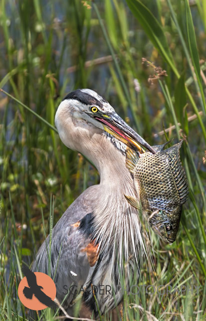 Great Blue Heron with large fish
