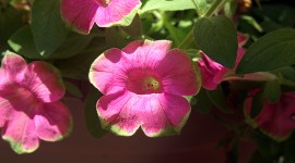 Pink and green petunias