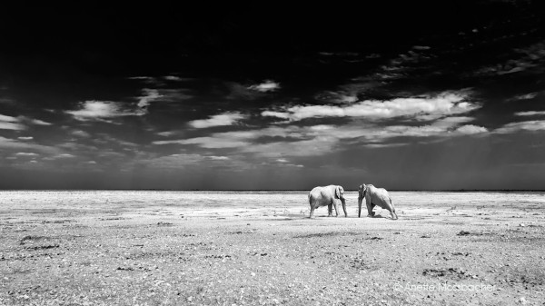 African-White-Elephants-Namibia