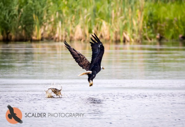 Bald Eagle and fish in water