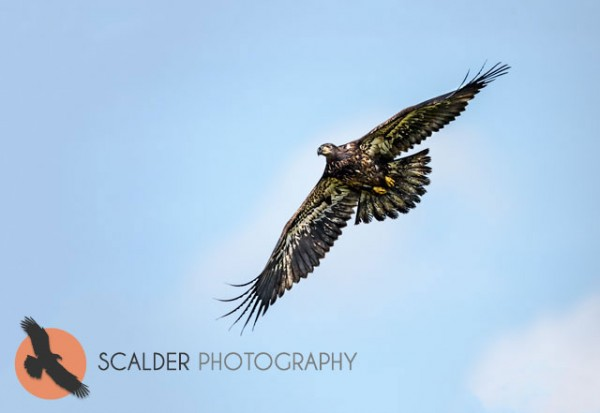 Juvenile Bald Eagle soaring in flight