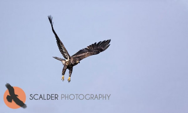 Juvenile Bald Eagle taking off in flight
