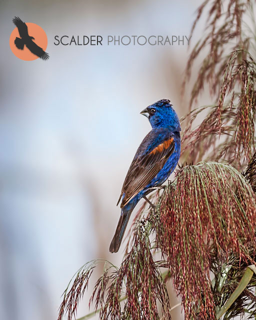 Male Blue Grosbeak perched in reeds