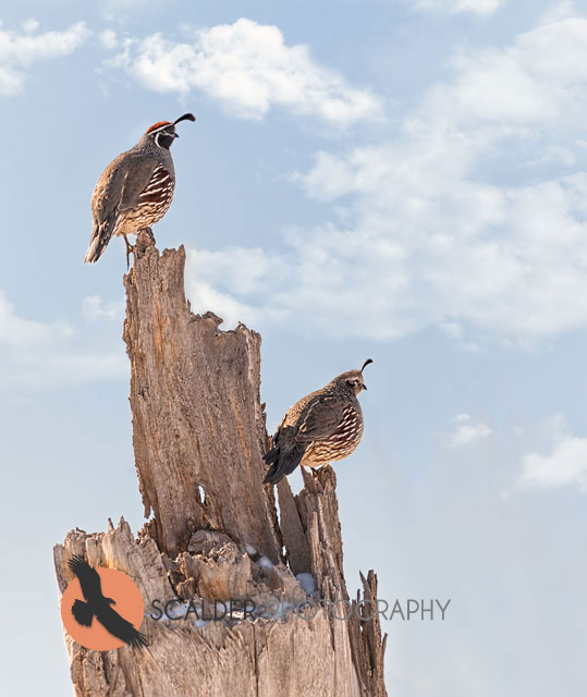 Pair of Gambel's Quail perched on dead stump