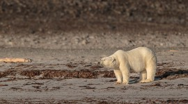 Polar Bear-Beach-Arctic Regions-Norway