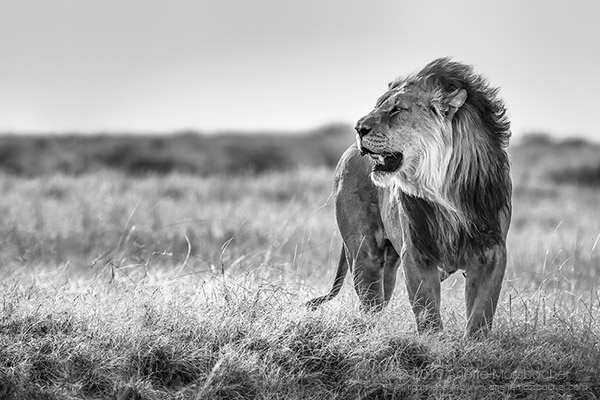 BW-African-Lion-Africa