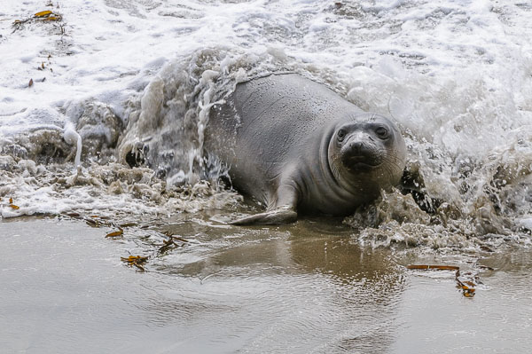 Northern Elephant Seal [Mirounga angustirostris]