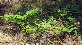 Bracken Fern, Pteridium spp.
