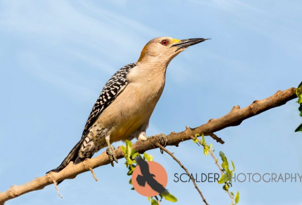 Female Golden-Fronted Woodpecker with tongue protruding