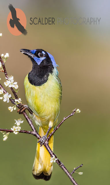 Green Jay perched on branch with white flowers