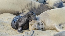 Northern Elephant Seal [Mirounga angustirostris] Cow and pup