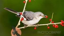Northern Mockingbird eating red berry