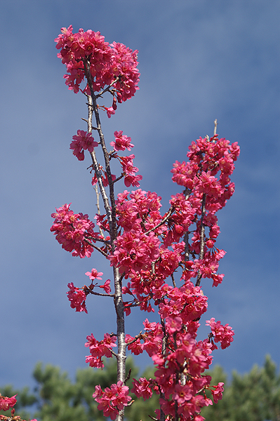 Ornamental Cherry tree buds and blossom