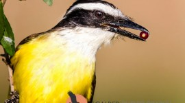 Great Kiskadee with red berry in beak