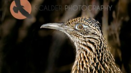 Greater Roadrunner close-up