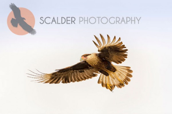 Crested Caracara landing with wings spread