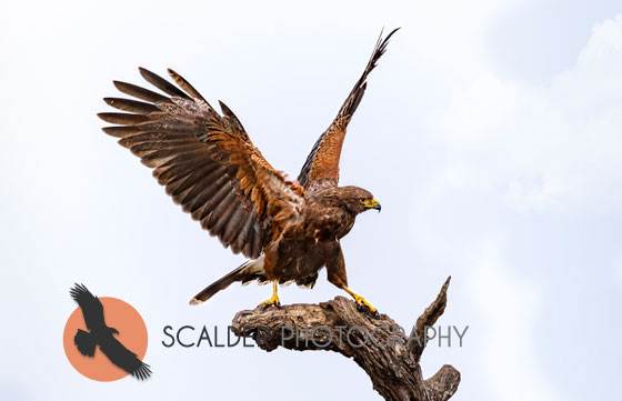 Harriss-Hawk-displaying-aggressive-stance