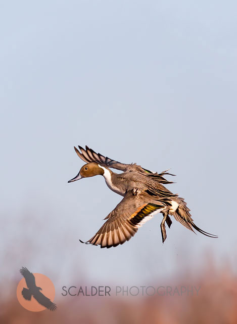 Male Northern Pintail Landing