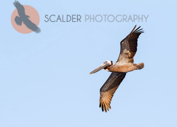 Brown-Pelican-in-flight