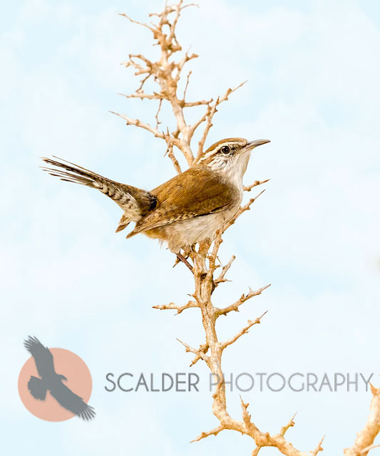Bewick's Wren perched in thorns