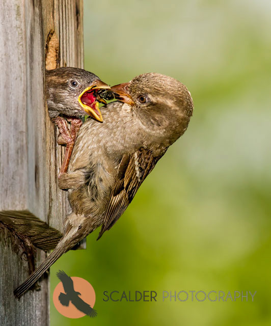 House Sparrow feeding nestling