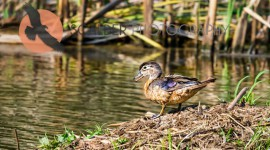 Female Wood Duck standing on bank with beak open
